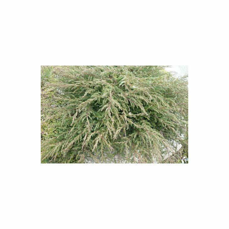 Enebær - Juniperus communis 'Repanda' 20-25 cm