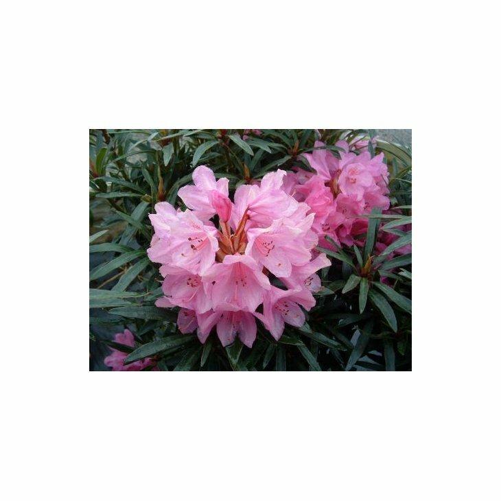 Rhododendron 'Graziella' i 5 l potte