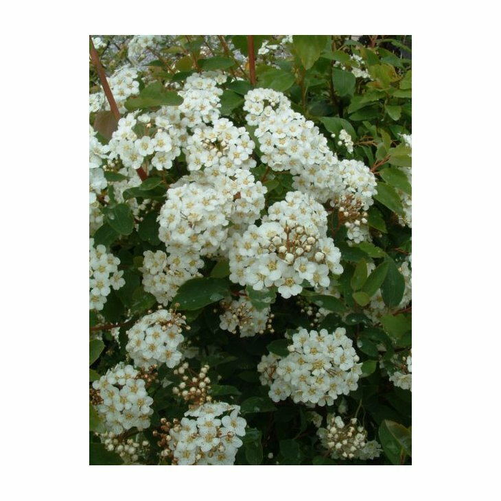 Buketspiræa - Spiraea x vanhouttei i 5 l potte