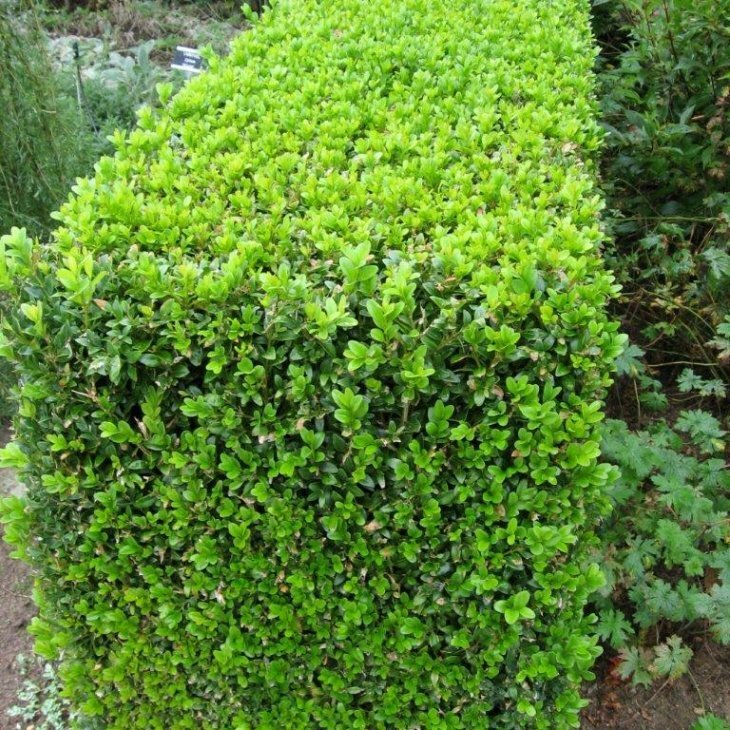 Buksbom - Buxus sempervirens 15-20 cm i 9 cm potte