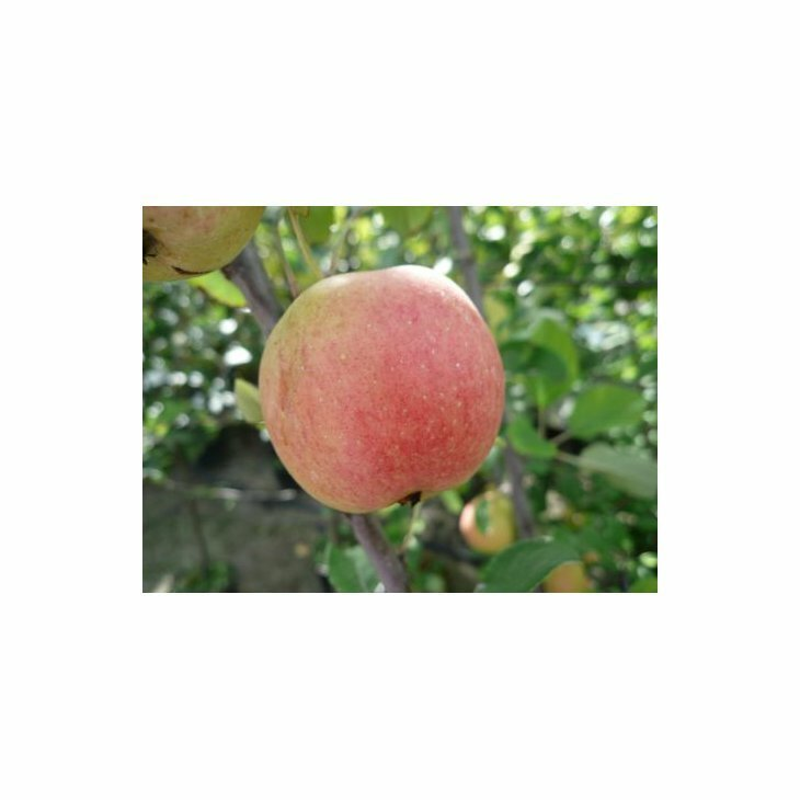 Æbletræ Ahrista