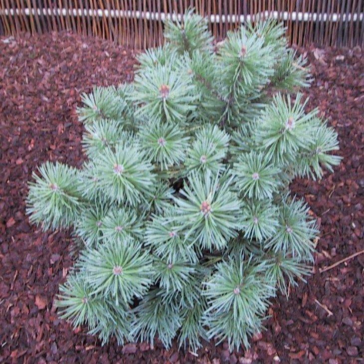 Dværgfyr - Pinus mugo 'Mops' 15-20 cm