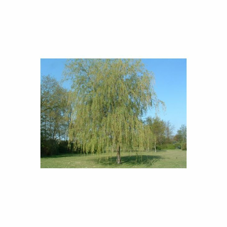 Guldhængepil - Salix alba 'Tristis'