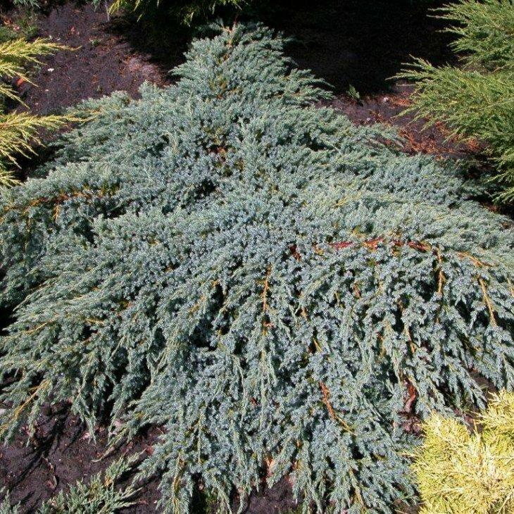 Enebær - Juniperus squamata 'Blue Carpet' 20-25 cm
