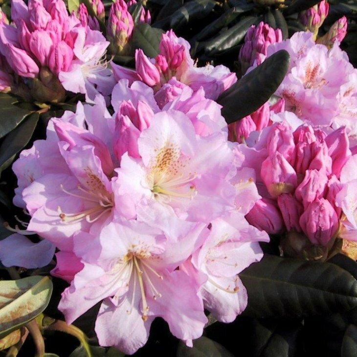 Rhododendron fortunei hybrid 'Scintillation' i 5 l potte