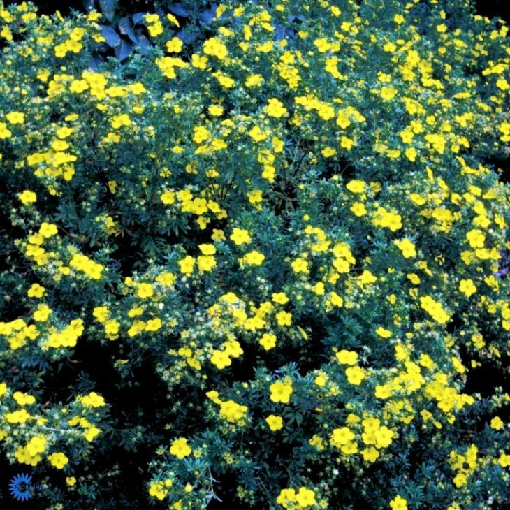 Potentillahæk - Potentilla fruticosa 'Goldfinger' 30-50 cm