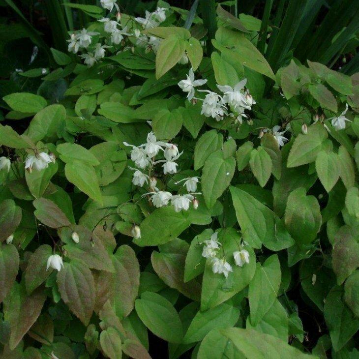 Bispehue - Epimedium youngianum 'Niveum'
