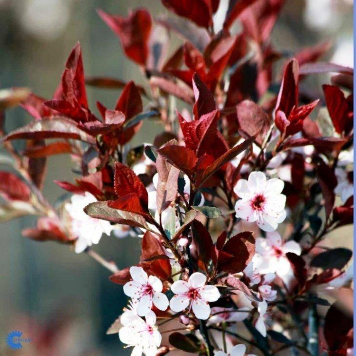 Dværgblodblomme - Prunus cistena