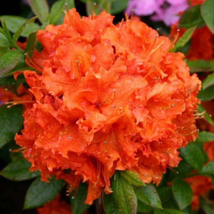 Rhododendron knaphill 'Gibraltar' i 5 l potte