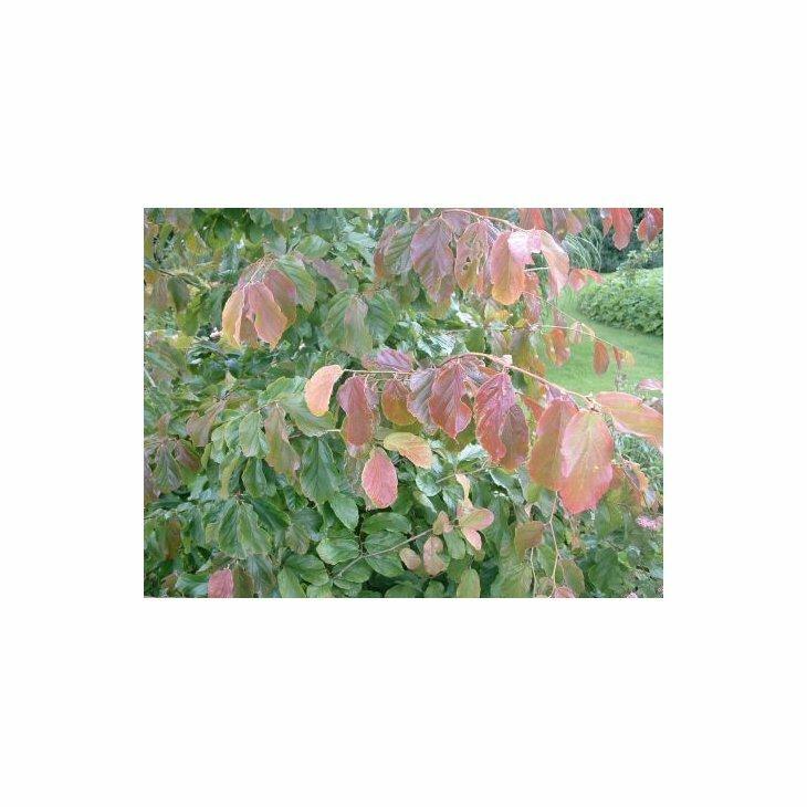 Papegøjebusk - Parrotia persica 'Persian Spire'