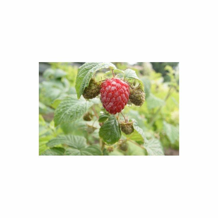Hindbærbusk - Rubus 'Glen Ample' i 2 l potte