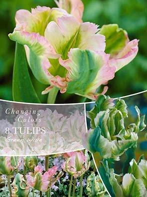Changing Colors Tulipa Green Wave 8 løg