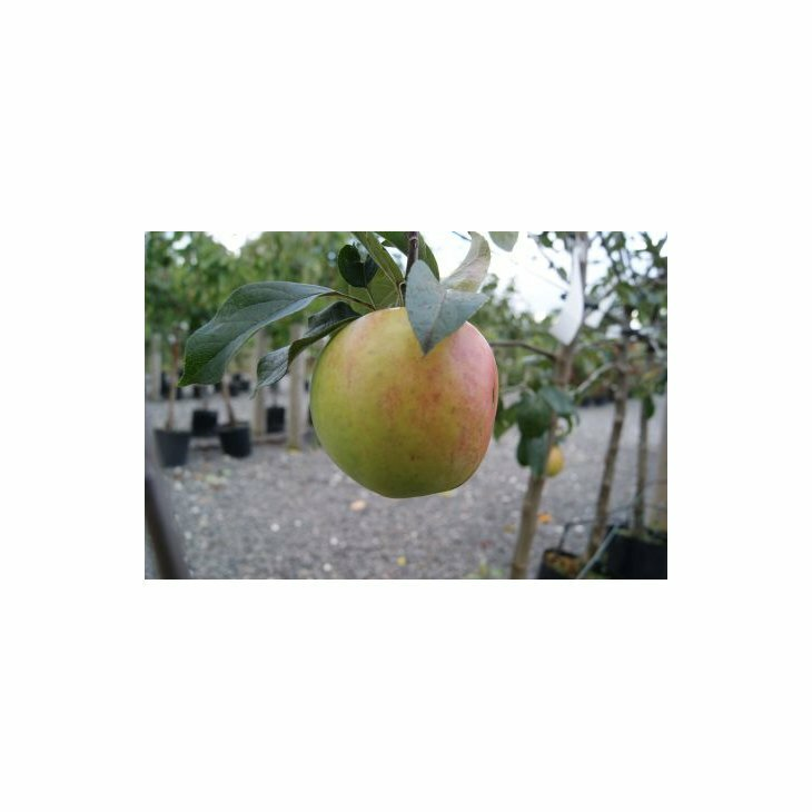 Æbletræ Gråsten