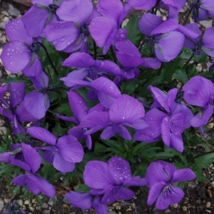 Hornviol - Viola cornuta i lilla