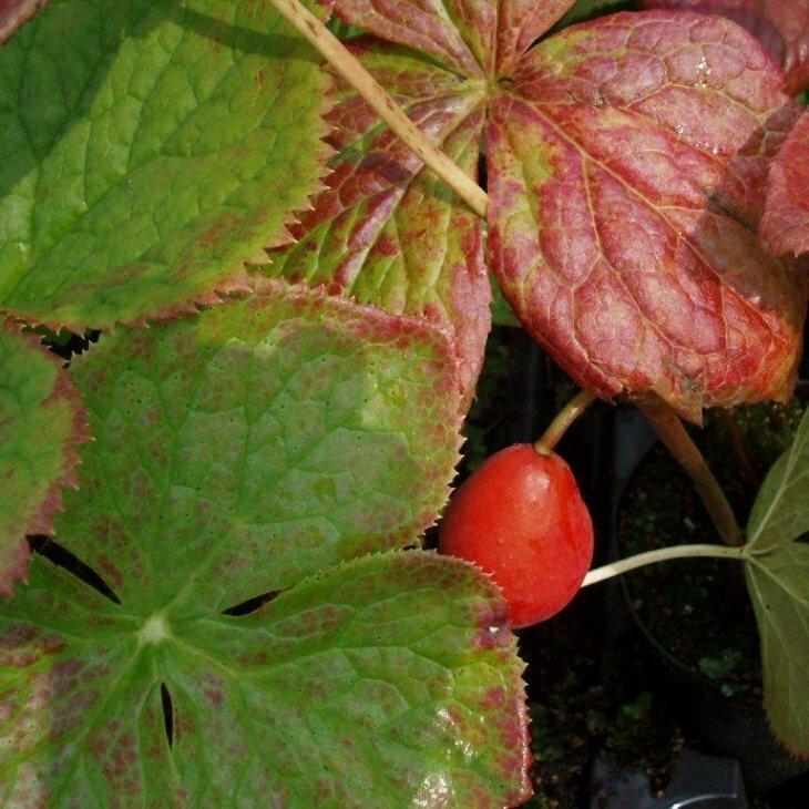Fodblad - Podophyllum hexandrum