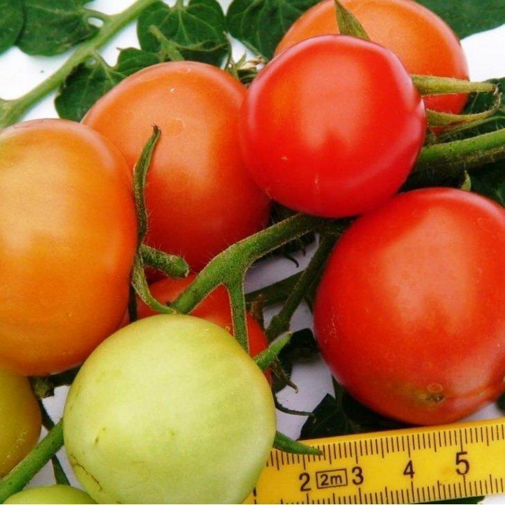 Almindelig tomat Isabella