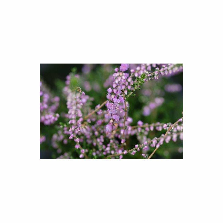 Efterårslyng - Calluna vulgaris 'Annemarie'
