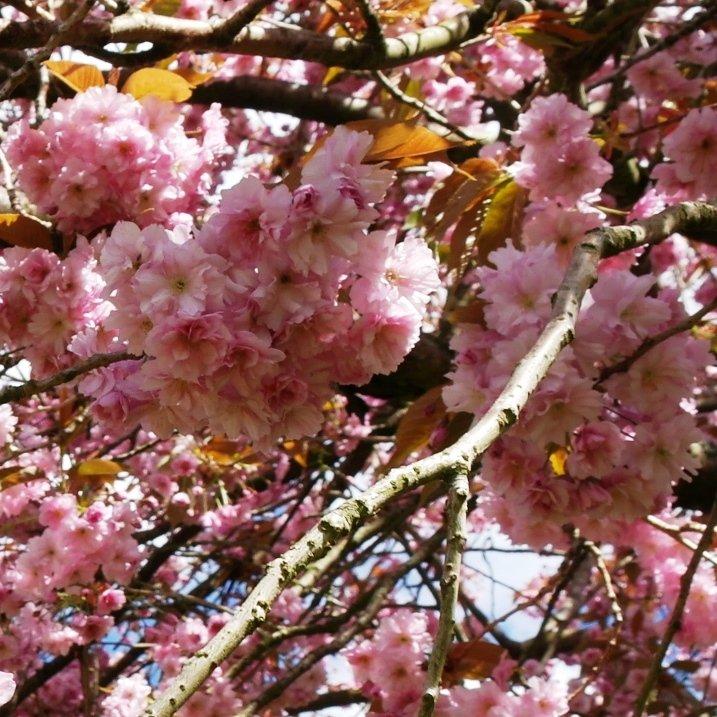 Japansk hængende kirsebær - Prunus s. 'Kiku-Shidare'