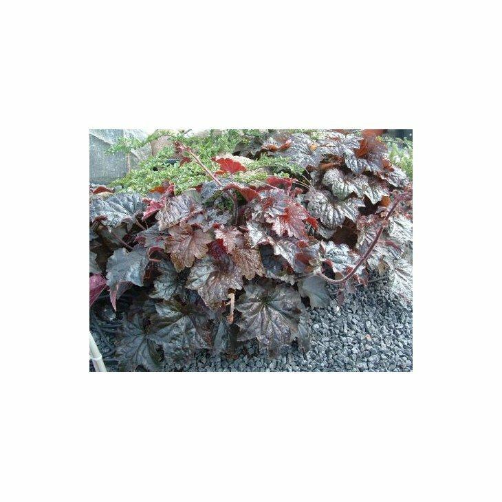 Alunrod - Heuchera micrantha 'Palace Purple'