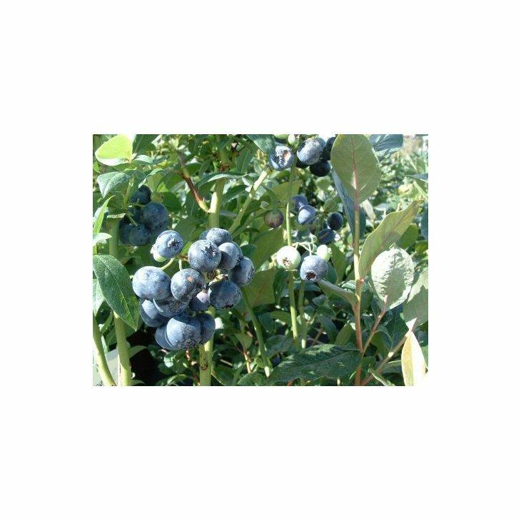 Blåbærbusk storfrugtet - Vaccinium c. 'Goldtraube' i 5 l potte