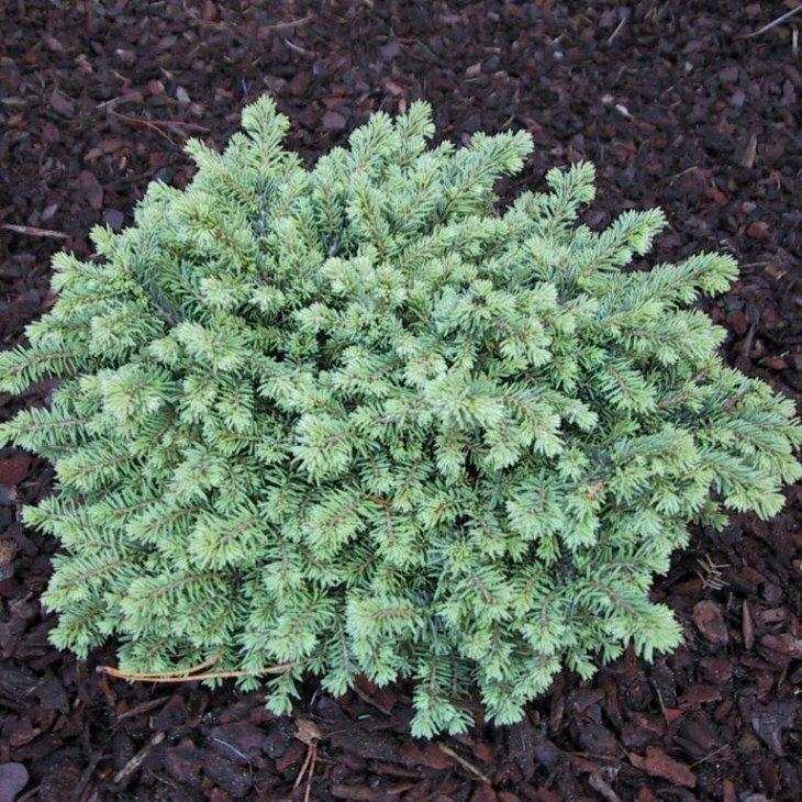 Dværgrødgran - Picea abies 'Little Gem' 15-20 cm