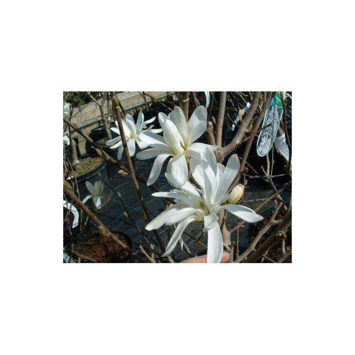 Stjernemagnolia - Magnolia stellata' i 5 l potte