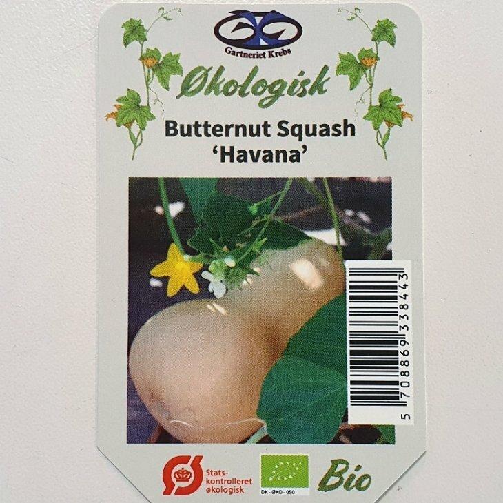 Squash - Butternut Squash Havana