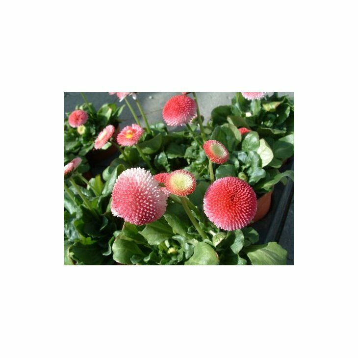 Tusindfryd - Bellis perennis 'Planet Strawberry and Cream' Rosa i 1 l potte
