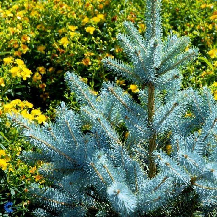Blågran - Picea pungens 'Edith' 60-80 cm