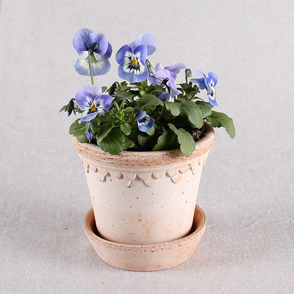 Hornviol - Viola cornuta nr. 10