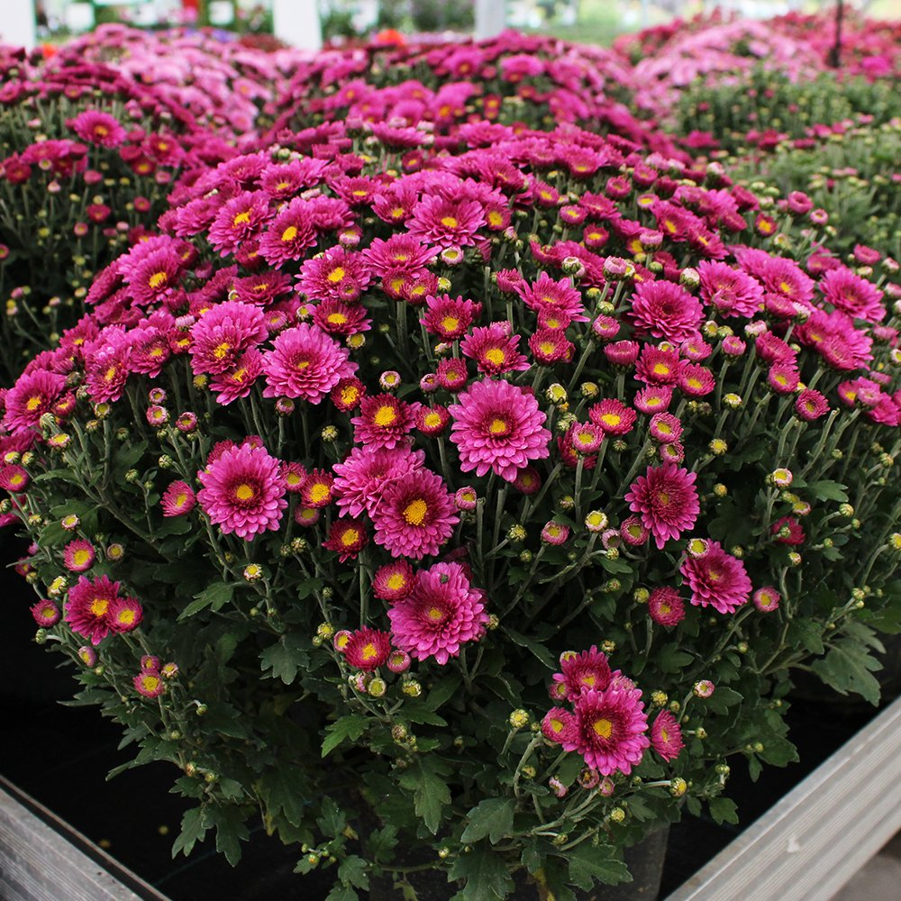 Efterårs Krysanthemum mørkrosa ca. 40 cm i dia.