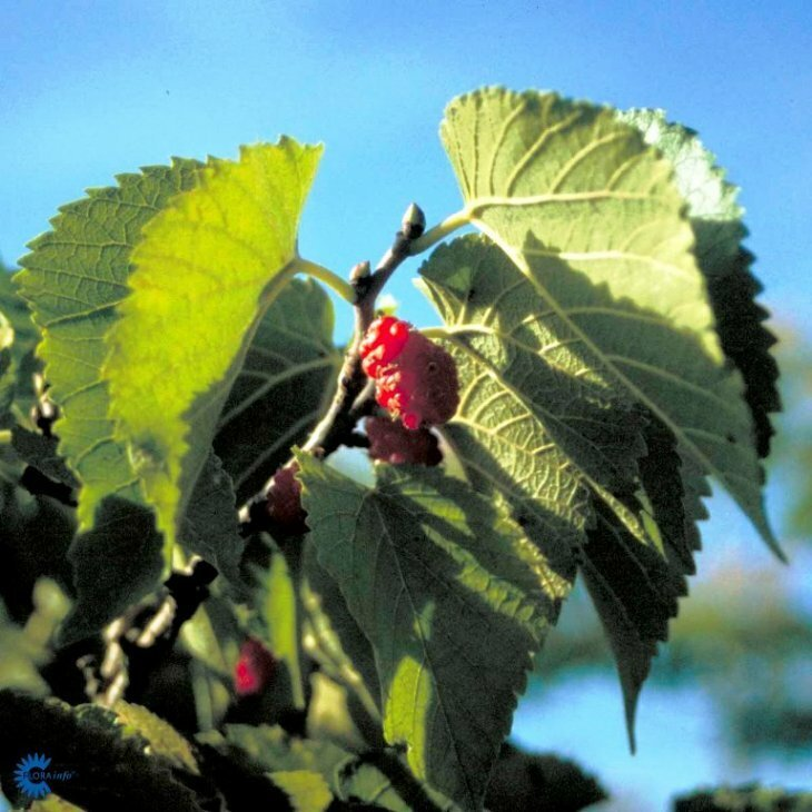 Morbærtræ - Morus nigra