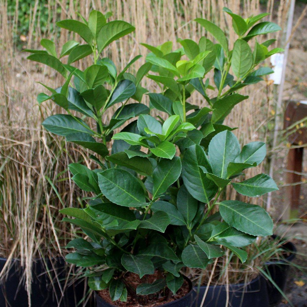 Kirsebærlaurbær - Prunus laurocerasus 'Etna' 40-50 cm