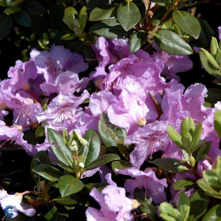 Rhododendron 'Lavendula' i 2 l potte