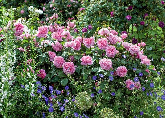 Roser og geranium