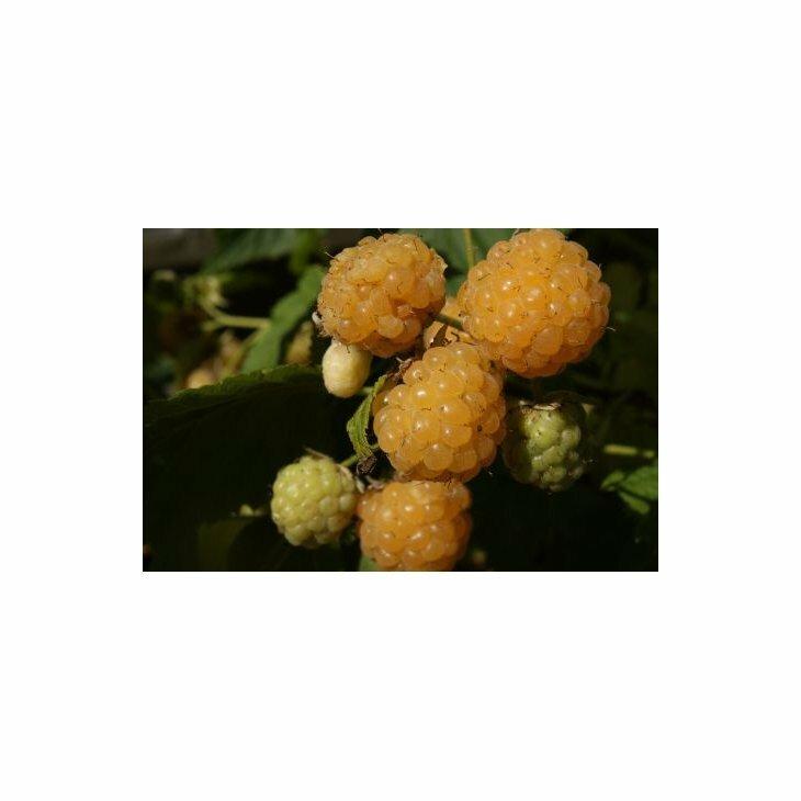 Hindbærbusk efterårs gule - Rubus 'Fallgold' i 5 l potte