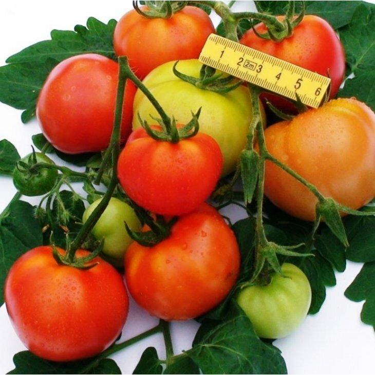 Almindelig tomat Elin