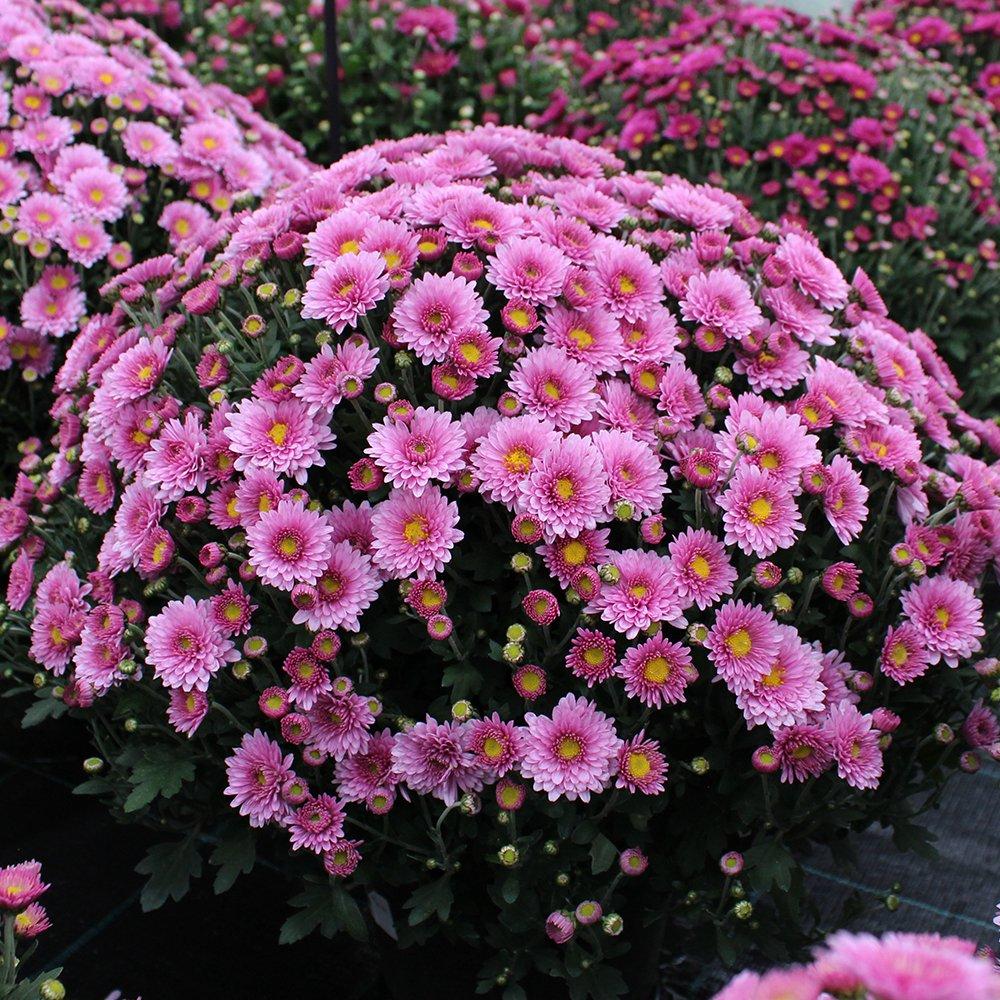 Efterårs Krysanthemum gammelrosa ca. 40 cm i dia.