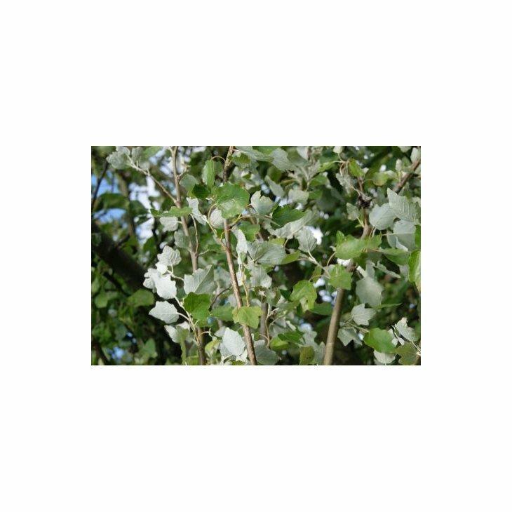 Sølvpoppel - Populus alba 'Nivea'