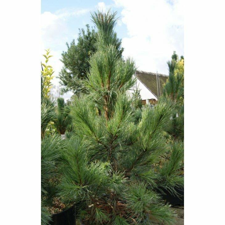 Cembrafyr - Pinus cembra 40-50 cm