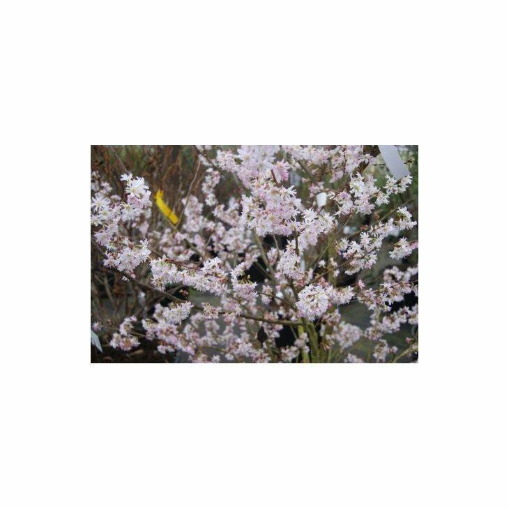 Oktoberkirsebær - Prunus subhirtella 'Autumnalis'