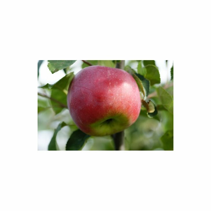 Æbletræ Aroma