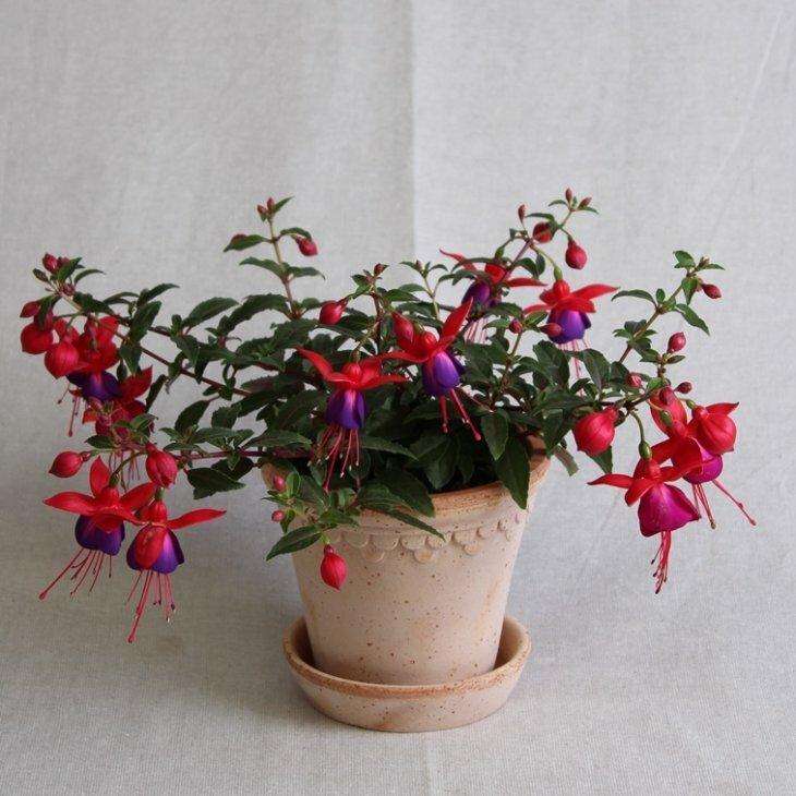 Fuchsia, buskform, rød med lilla klokke