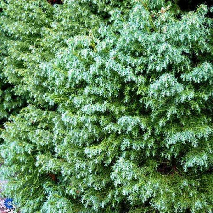 Kryptomeria - Cryptomeria japonica 'Elegans Viridis' 50-60 cm