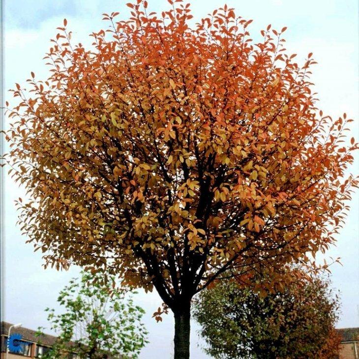 Kuglekirsebær - Prunus x eminens 'Umbraculifera'