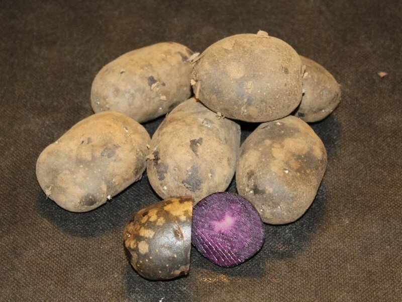 Læggekartofler purple rain