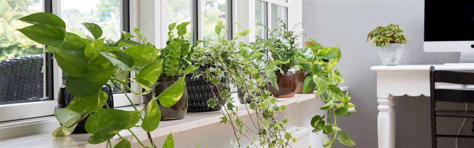 Luftrensende planter i vindueskarm