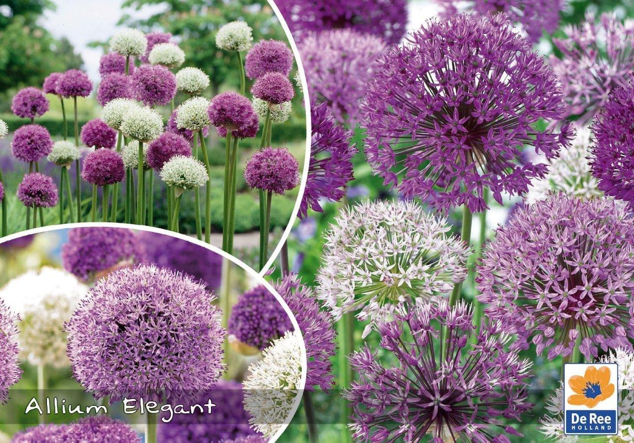 Allium Elegant - Prydløg - Landscape 18 løg
