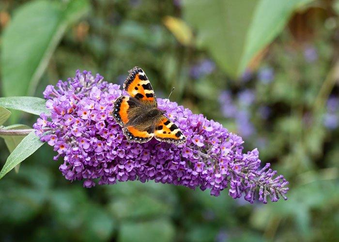 Sommerfuglebusk med sommerfugl