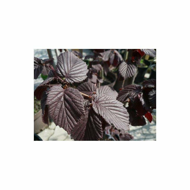 Hasselnøddebusk - Coryllus avelana 'Rød Zellernød' i 7,5 l potte